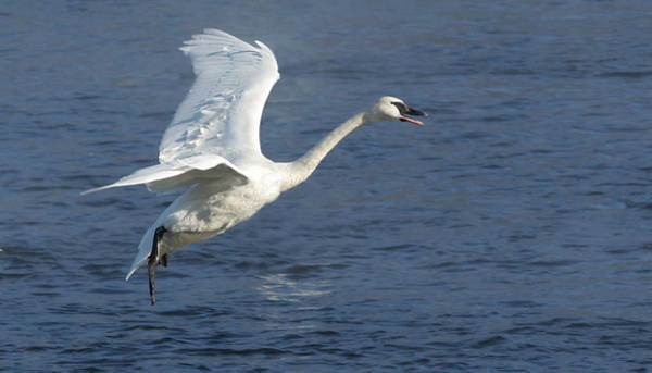 Wall Art - Photograph - Trumpeter Swan Lands On The Mississippi River by Laurie With