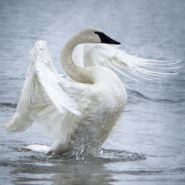 Photograph - Trumpeter Swan - Misty Display 2 by Patti Deters