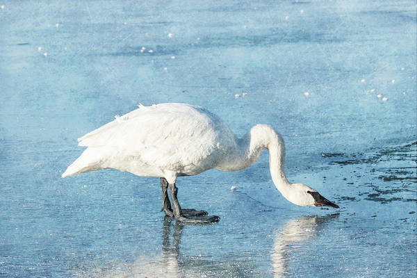 Photograph - Trumpeter Swan Neck #2 by Patti Deters