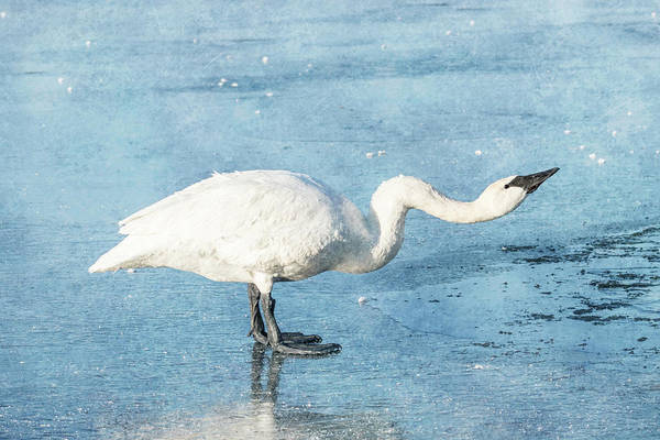 Photograph - Trumpeter Swan Neck #3 by Patti Deters