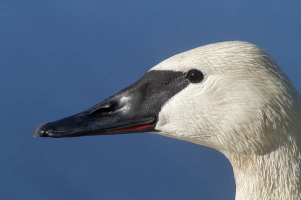 Photograph - Trumpeter Swan Portrait by Mark Miller