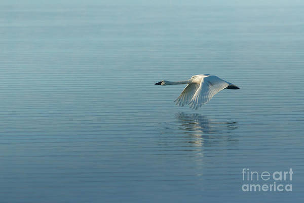 Photograph - Trumpeter Swan by Beve Brown-Clark Photography