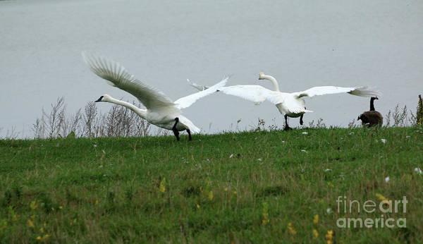 Wall Art - Photograph - Trumpeter Swan Takeoff   by Lori Tordsen