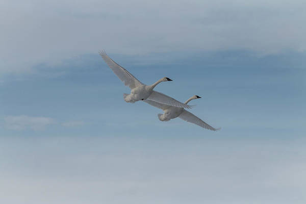 Photograph - Trumpeter Swans Tandem Flight II by Patti Deters