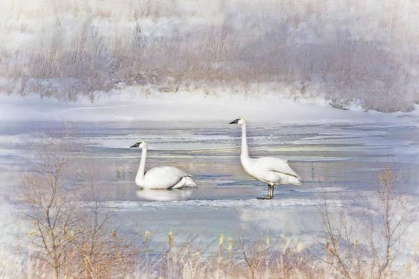 Wall Art - Photograph - Trumpeter Swan's Winter Rest by Jennie Marie Schell