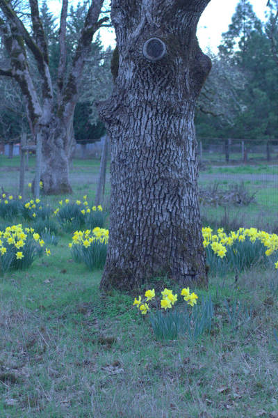 Shady Cove Photograph - Trunk And Daffodils by Marie Neder