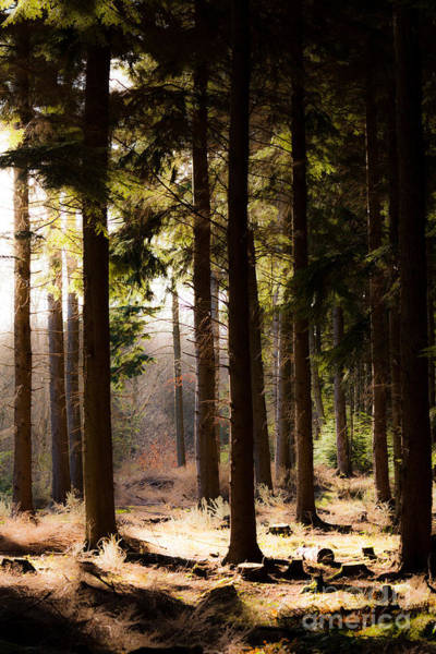 Photograph - Trunks Of Upright Pine Trees In Forest With Sunshine by Peter Noyce