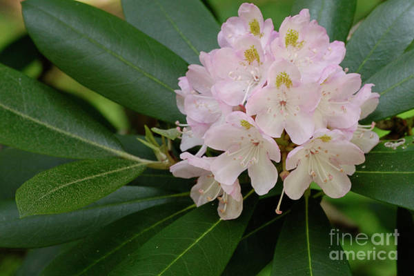 Photograph - Tucker County Rhododendron by Randy Bodkins