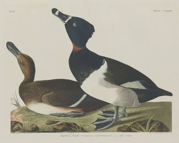 Wall Art - Drawing - Tufted Duck by Dreyer Wildlife Print Collections