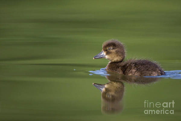 Photograph - Tufted Duckling by Cedric Jacquet