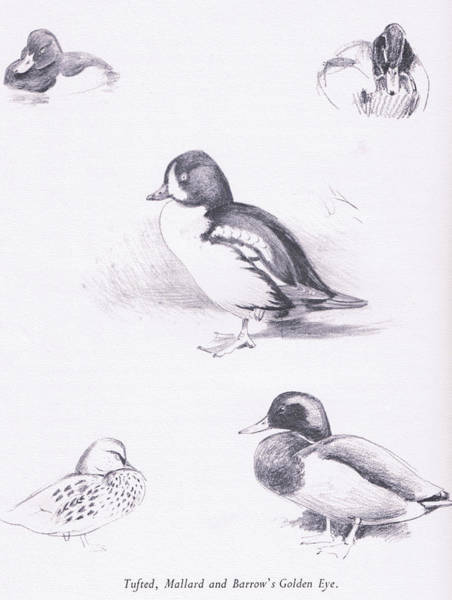 Colored Pencil Drawing Drawing - Tufted Ducks, Mallards, Barrows Goldeneye by Archibald Thorburn