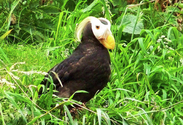Photograph - Tufted Puffin by Anthony Jones