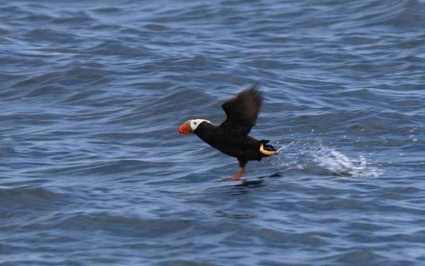 Photograph - Tufted Puffin by Christy Pooschke