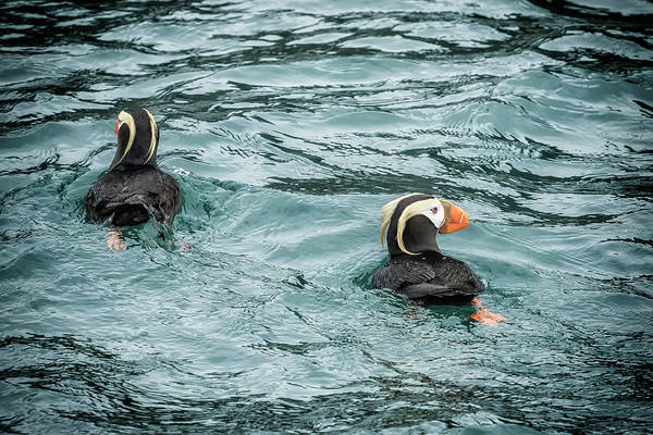 Photograph - Tufted Puffin Pair by Belinda Greb