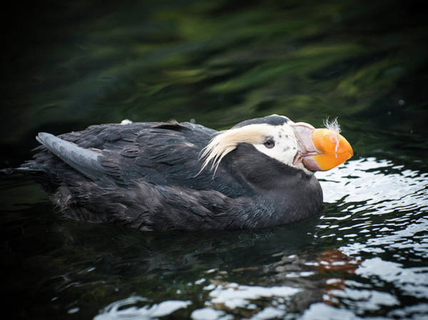 Photograph - Tufted Puffin by Robert Potts