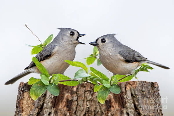 Wall Art - Photograph - Tufted Titmice by Bonnie Barry