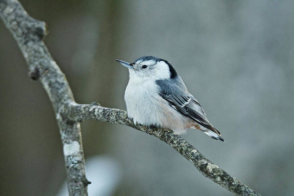 White-breasted Nuthatch Photograph - White Breasted Nuthatch 017 by Michael Peychich