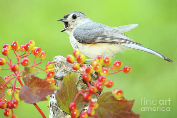 Wall Art - Photograph - Tufted Titmouse Calling by Max Allen
