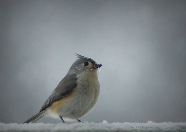 Photograph - Tufted Titmouse In The Snow by Cricket Hackmann