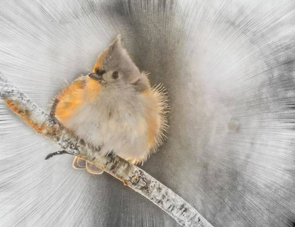 Digital Art - Tufted Titmouse In Winter. by Rusty R Smith