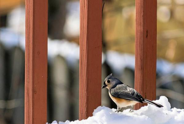 Photograph - Tufted Titmouse On Snow by Keith Smith