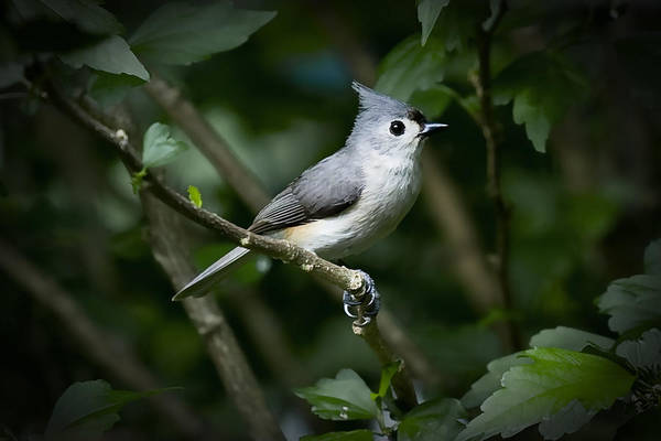 Photograph - Tufted Titmouse by Patricia Montgomery