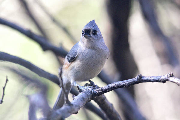 Photograph - Tufted Titmouse by Trina Ansel