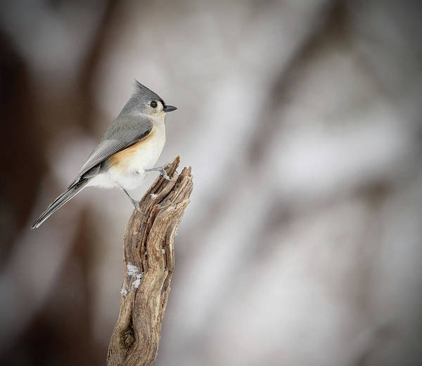 Mendon Photograph - Tufted Titmouse by Kelly Lucero