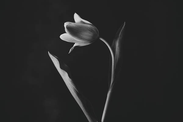 Photograph - Tulip #0151 by Desmond Manny