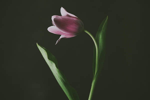 Photograph - Tulip #0152 by Desmond Manny