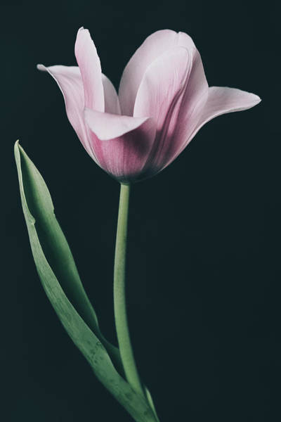 Photograph - Tulip #0153 by Desmond Manny
