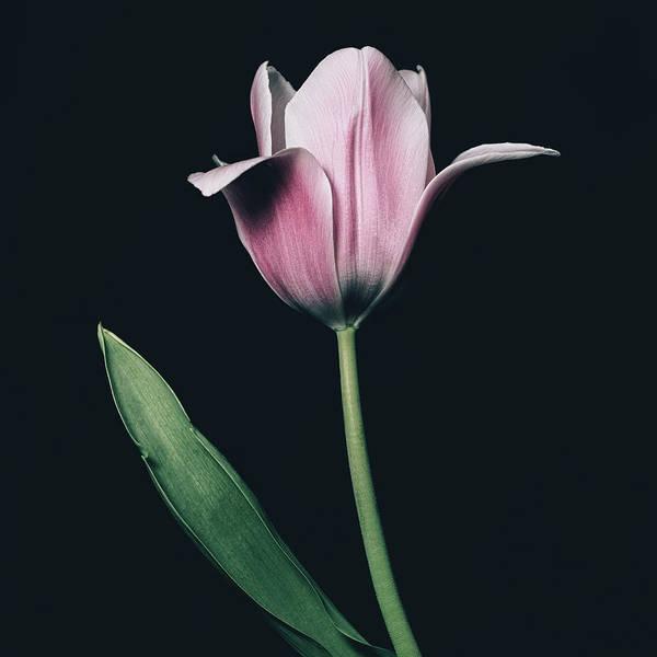 Photograph - Tulip #0154 by Desmond Manny