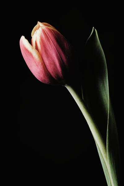 Photograph - Tulip #172 by Desmond Manny