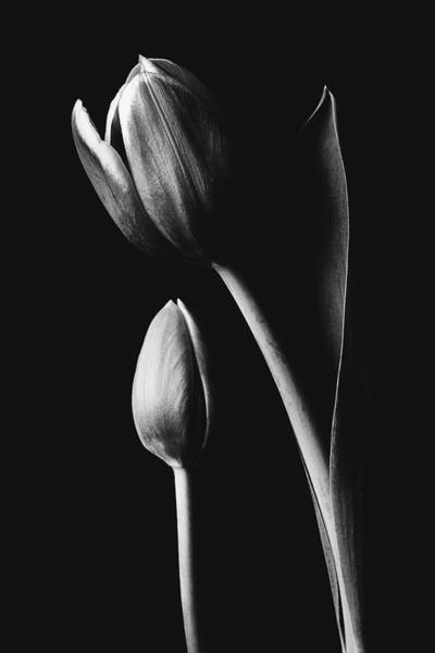 Photograph - Tulip #173 by Desmond Manny