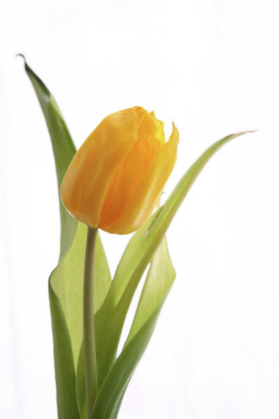 Photograph - Tulip 272 by Marie Leslie