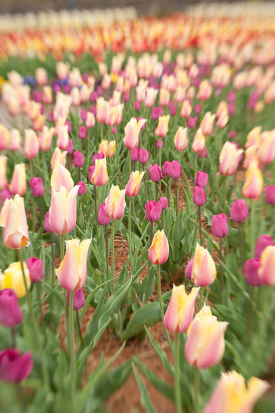 Photograph - Tulip 4 by Joye Ardyn Durham