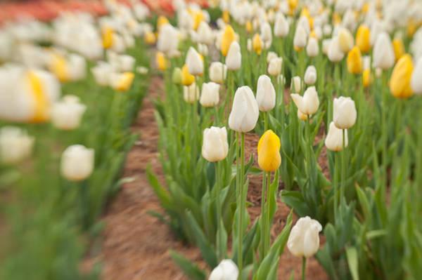 Photograph - Tulip 5 by Joye Ardyn Durham