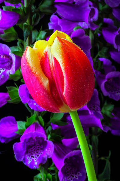 Foxglove Wall Art - Photograph - Tulip And Foxglove by Garry Gay