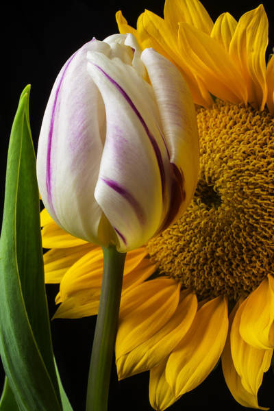 Purple Tulip Photograph - Tulip And Sunflower by Garry Gay