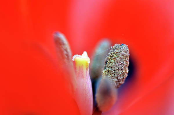 Photograph - Tulip At Amatzia Forest - 1 by Dubi Roman