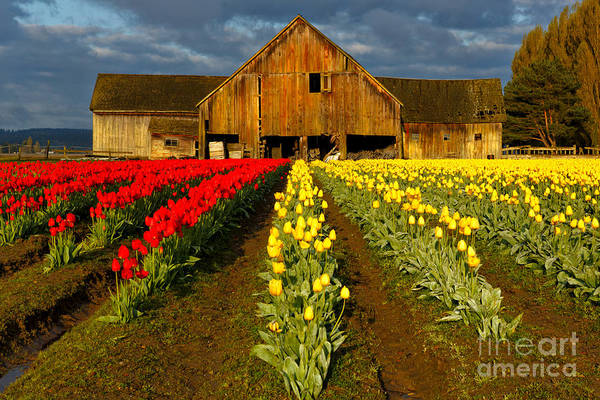 Photograph - Tulip Barn - Morning Light by Beve Brown-Clark Photography