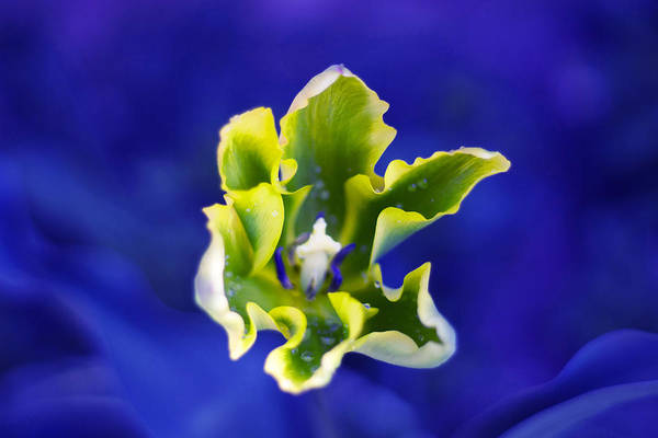 Floristry Photograph - Vivid Blue Tulip by Kelly Straw