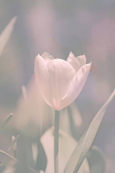 Photograph - Tulip by Bob Orsillo