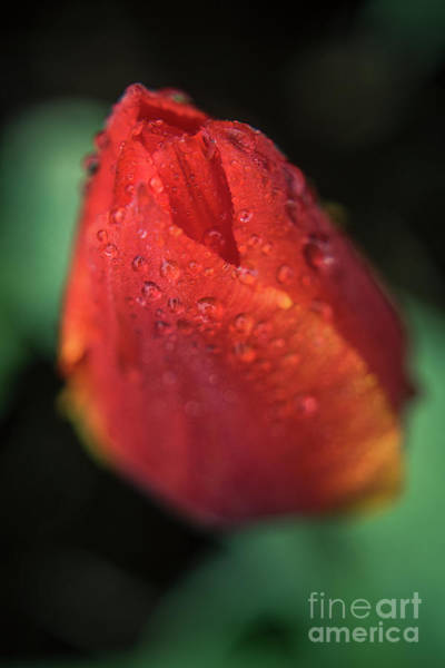 Photograph - Tulip Bulb Raindrops-1683 by Steve Somerville