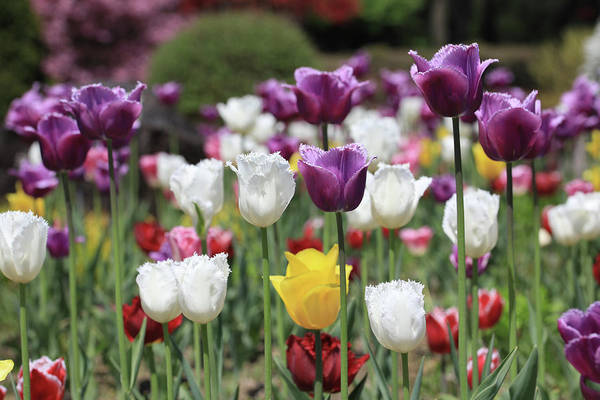 Arboretums Photograph - Tulip Collection by Hyuntae Kim