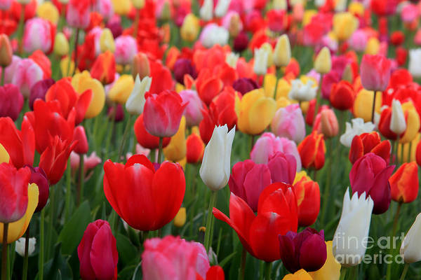 Photograph - Tulip Color Mix by Peter Simmons