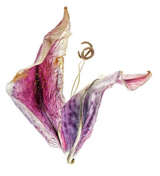 Wall Art - Photograph - Tulip Dancer by Tony Locke