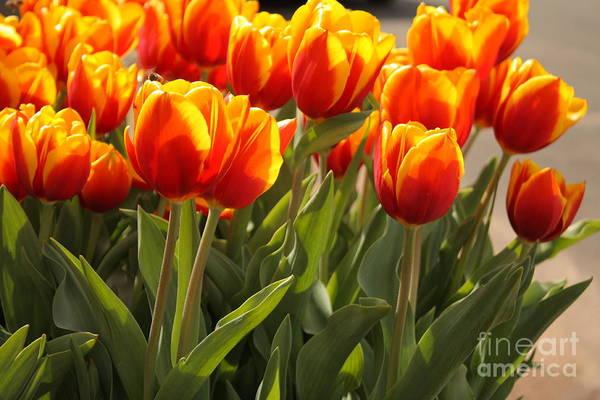 Photograph - Tulip Delight by Elaine Teague