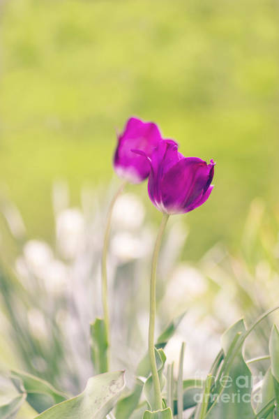 Photograph - Tulip Dream 2 by Rima Biswas