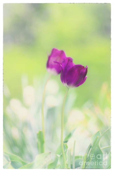 Photograph - Tulip Dream by Rima Biswas